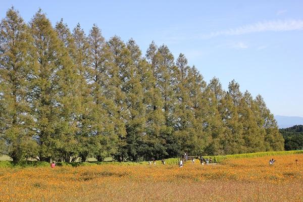 キバナコスモスの花畑とメタセコイアの風景写真