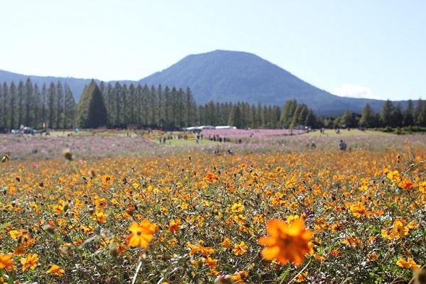 キバナコスモス畑の風景写真