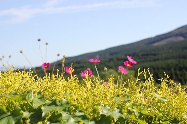 生駒高原のコスモスと山の風景写真