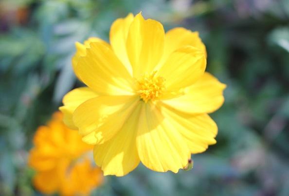 キバナコスモス 黄色の写真