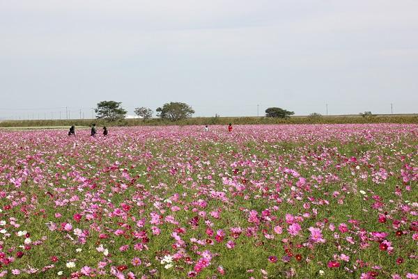 フラワーゾーンのコスモス畑の写真