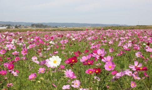 諫早 干拓フラワーゾーンのコスモス畑の写真