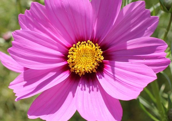 綺麗で大きな濃いピンクのコスモスの写真