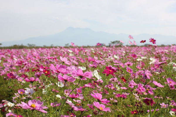 普賢岳を背景としたコスモス畑の写真