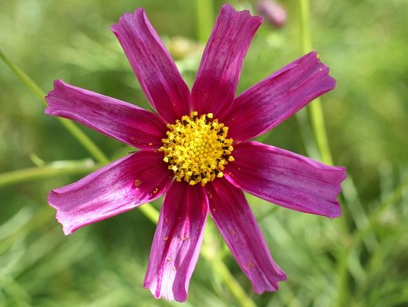 珍しい花びらのコスモスの写真