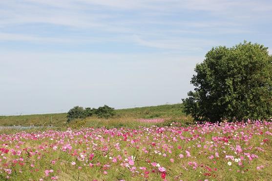 河川敷に咲いてるコスモス畑の写真
