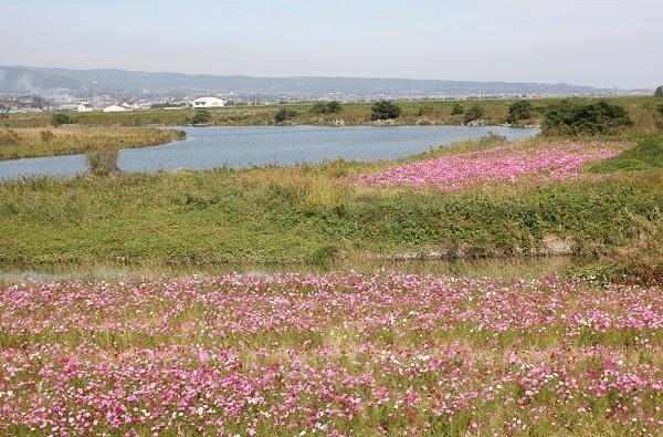 本明川の河川敷と川とコスモスの写真