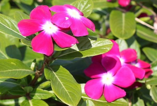 あぐりの丘に咲いてる濃いピンクの日日草の写真
