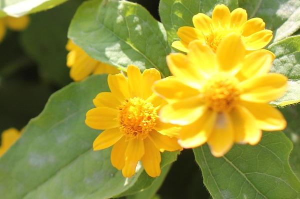 あぐりの丘に咲いているサンビタリアの写真