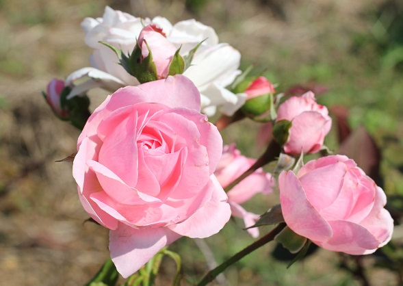 あぐりの丘に咲く、ピンクと白の綺麗なバラの写真