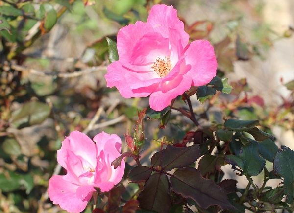 あぐりの丘に咲くピンクのバラの写真