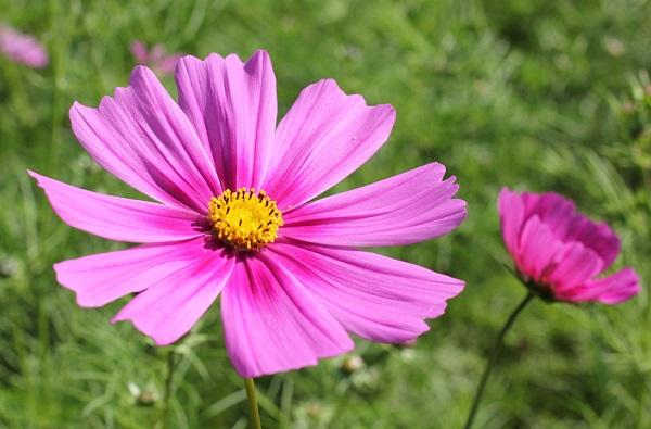 グラデーションが美しいピンクのコスモスの写真