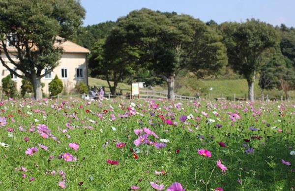 あぐりの丘の丘のコスモス畑と丘の風景写真