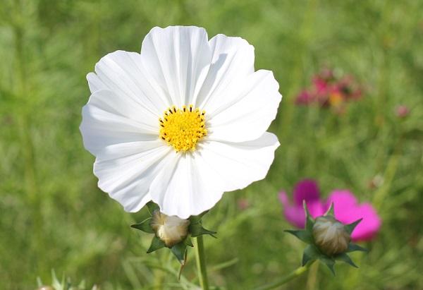 白いコスモスのアップ写真
