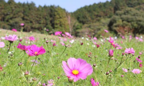 あぐりの丘のコスモス畑の写真