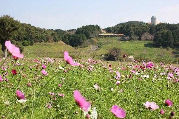 あぐりの丘のコスモス畑と馬小屋の写真