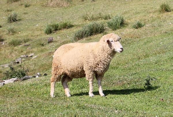 あぐりの丘の羊の写真