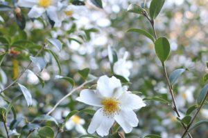 千石山の白い山茶花の写真