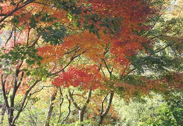 やまねガーデン、モミジの紅葉の写真