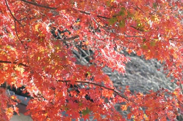 秋月城跡のモミジの写真