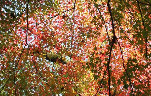 紅葉したモミジの写真
