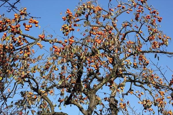 大きな木に柿がなってる写真