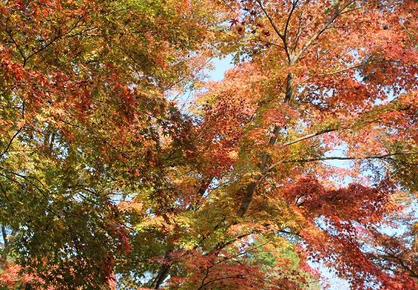 大きなもみじの紅葉の写真