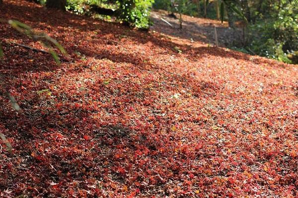 落ちたモミジ、紅葉の絨毯の写真