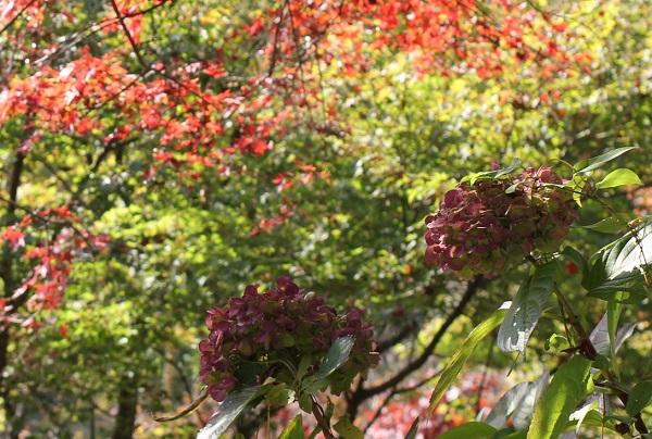 モミジと紫陽花のドライフラワーの写真
