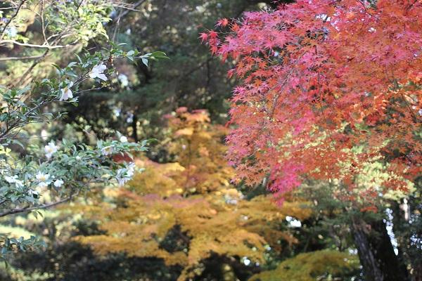 後楽園の赤・黄色のモミジとサザンカの写真
