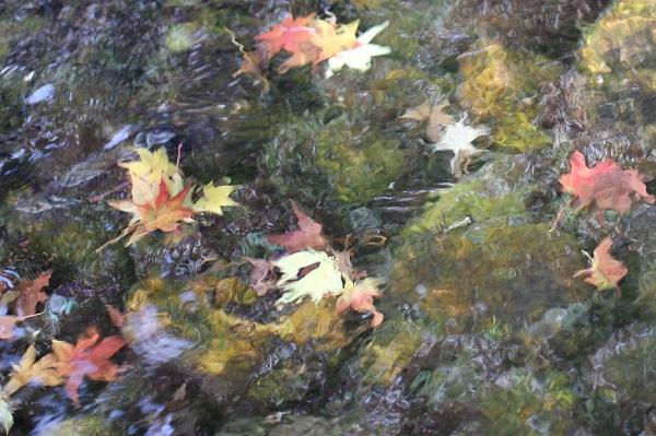 小さな川に落ちた赤や黄色のモミジの葉の写真