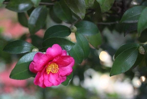 きれいな寒椿の写真