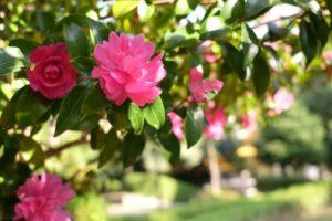 山茶花が咲きてる公園の写真