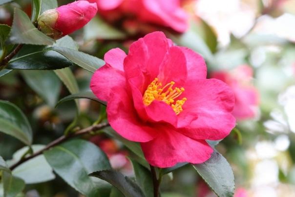 赤い山茶花の写真