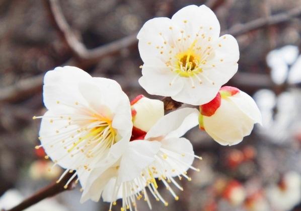 白い梅の写真