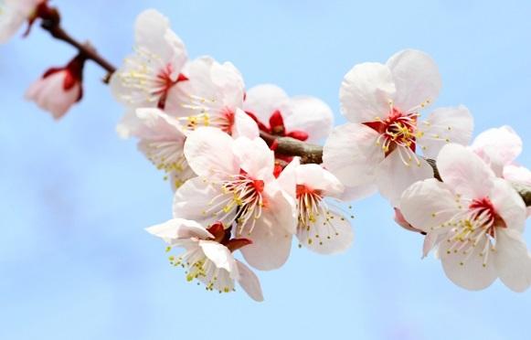 白梅のアップ写真