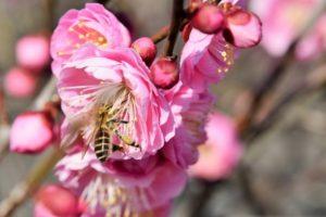 紅梅とミツバチの写真