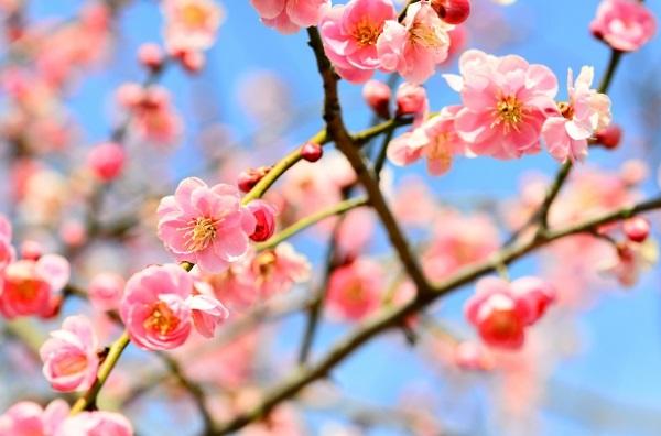 ピンクの梅の写真