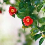 赤い椿の写真