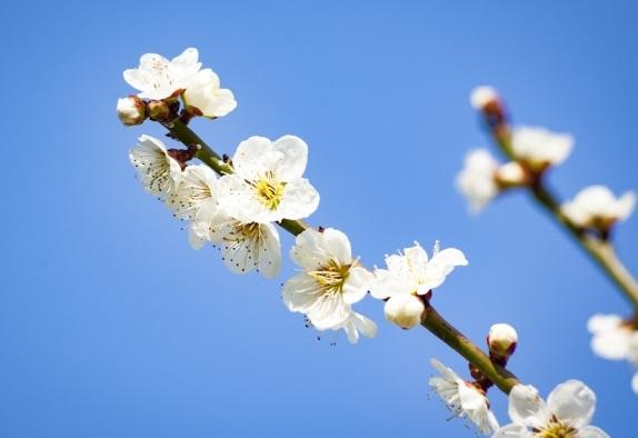 青空と白い梅の写真