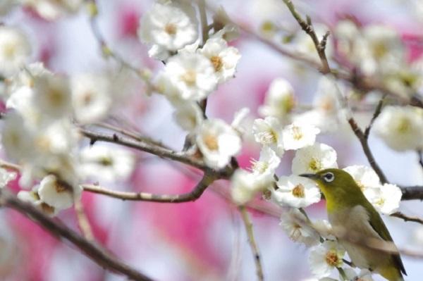 梅とウグイスの写真