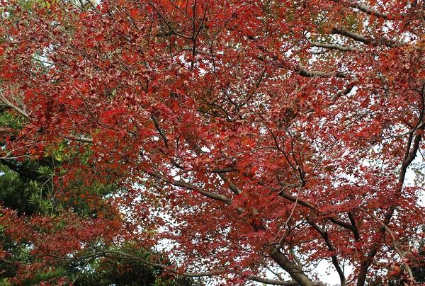 真っ赤なモミジの大きな木の写真