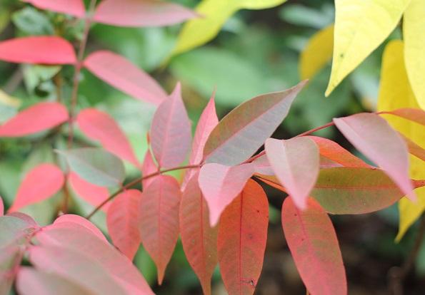 赤く色づいたハゼの葉の写真