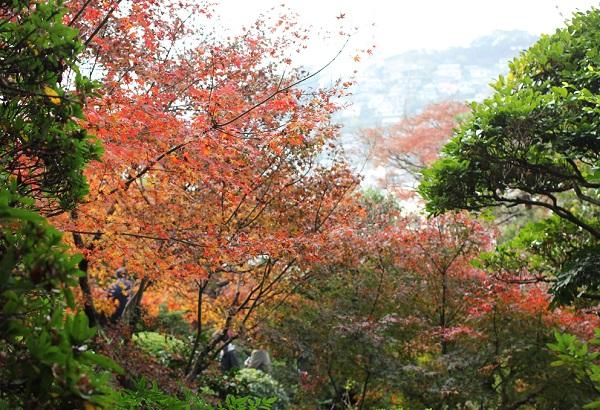 モミジの紅葉と長崎の街の様子の写真