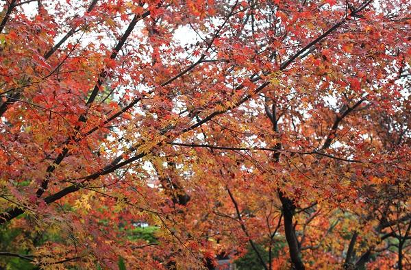 綺麗なモミジの紅葉の写真