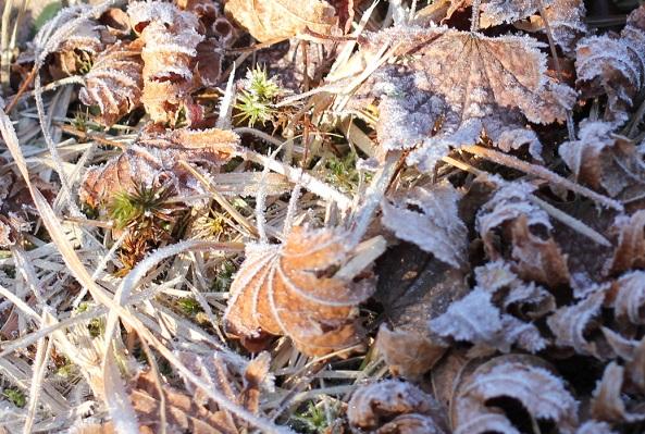 霜の落ち葉の写真