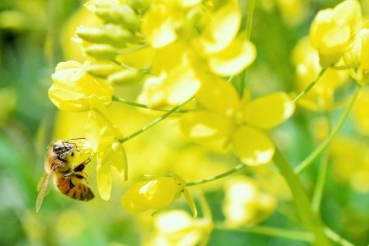 菜の花のアップ写真