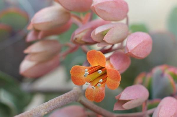 可愛いオレンジの花が開いた状態のカランコエ(胡蝶の舞)の写真