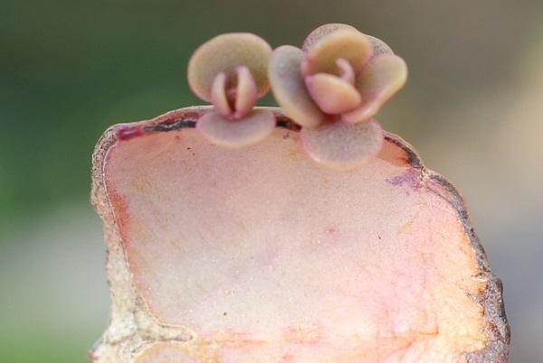 胡蝶の舞、置いておいた葉から出てきた子株の様子の写真