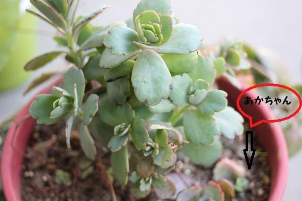 初め買った胡蝶の舞、大きくなって茂って子株がある写真